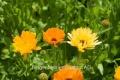 Ringelblume